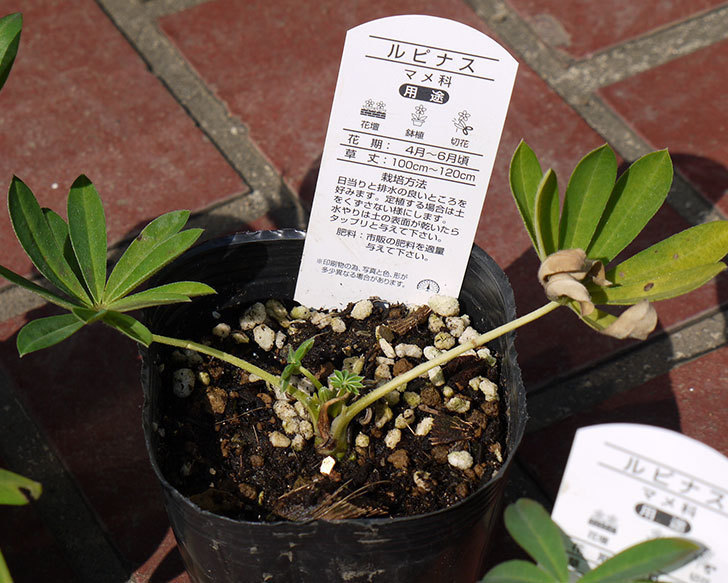 ルピナスの苗を80円で3個買って来た。2016年-3.jpg