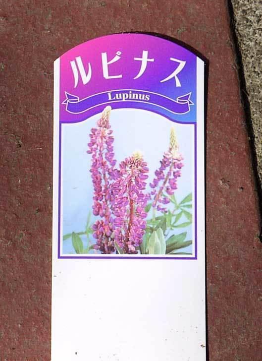 ルピナスの苗を80円で3個買って来た。2016年-5.jpg