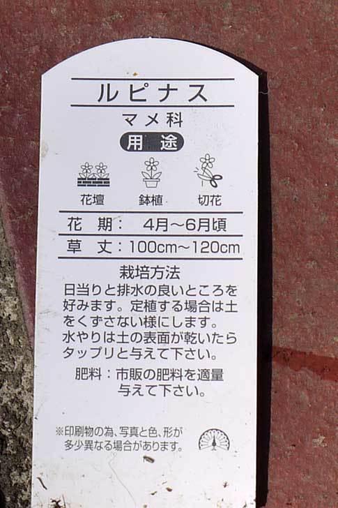 ルピナスの苗を80円で3個買って来た。2016年-6.jpg