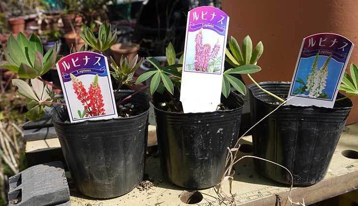 ルピナスの苗を80円で3個買って来た。2016年-7.jpg