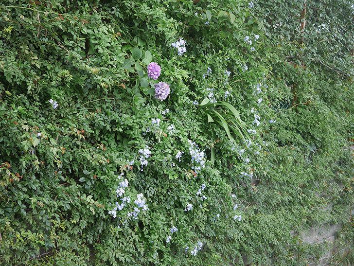 ルリマツリの花がたくさん咲いた。2020年-001.jpg