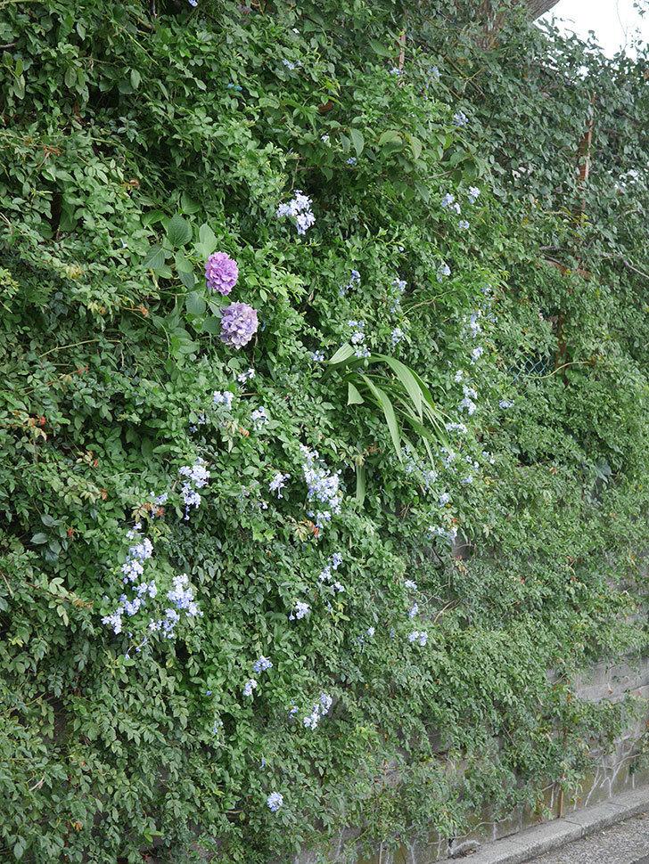 ルリマツリの花がたくさん咲いた。2020年-002.jpg