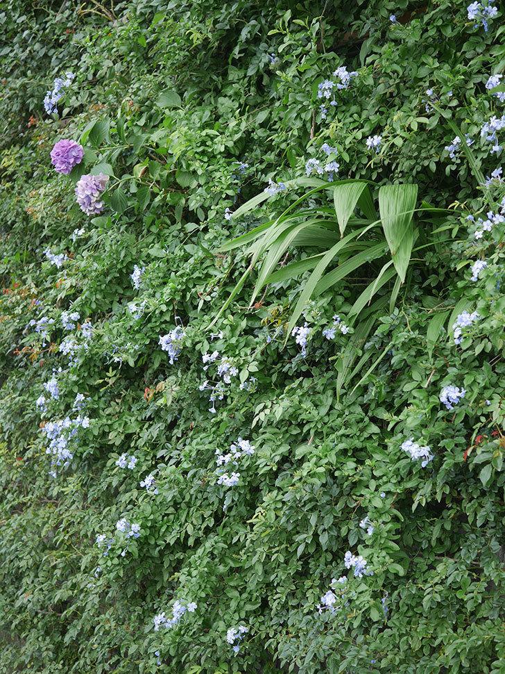ルリマツリの花がたくさん咲いた。2020年-017.jpg