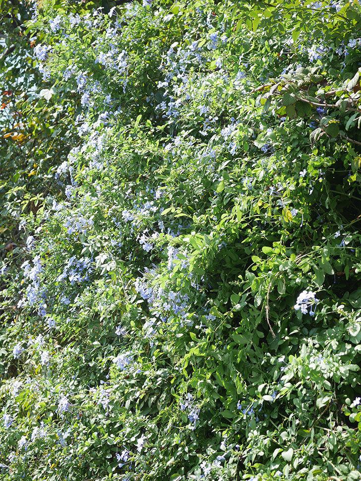 ルリマツリの花がたくさん咲いた。2021年-011.jpg