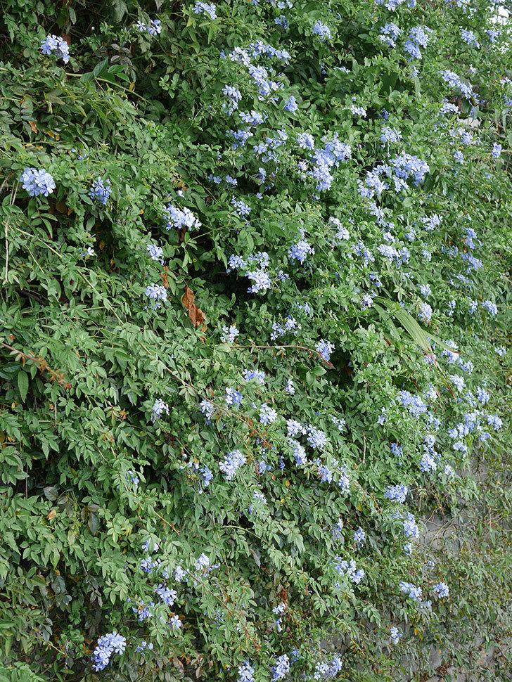 ルリマツリの花がまたたくさん咲いた。2020年-002.jpg