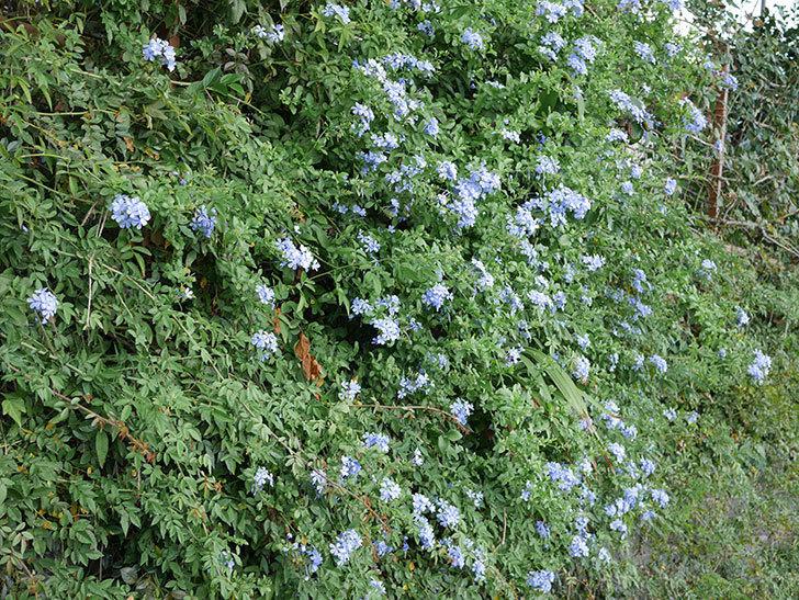 ルリマツリの花がまたたくさん咲いた。2020年-003.jpg
