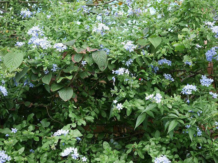 ルリマツリの花がまたたくさん咲いた。2020年-008.jpg