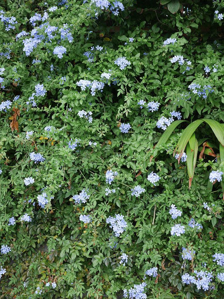 ルリマツリの花がまたたくさん咲いた。2020年-009.jpg