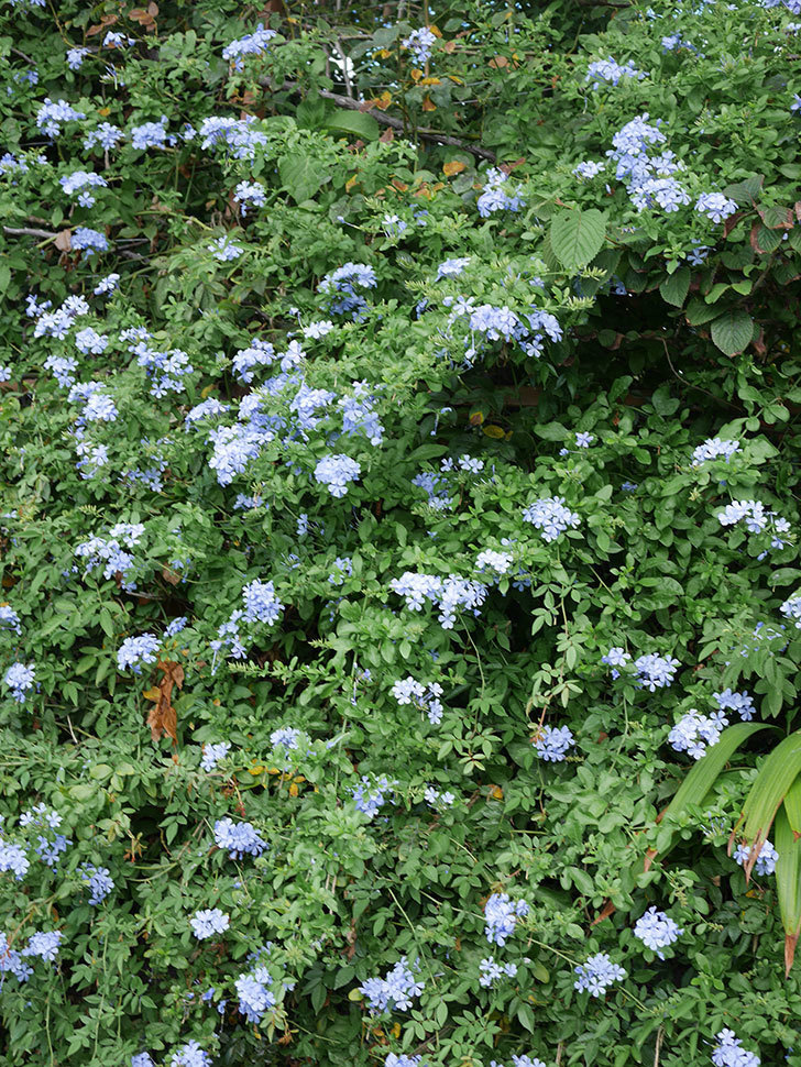 ルリマツリの花がまたたくさん咲いた。2020年-010.jpg