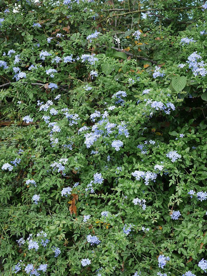 ルリマツリの花がまたたくさん咲いた。2020年-011.jpg