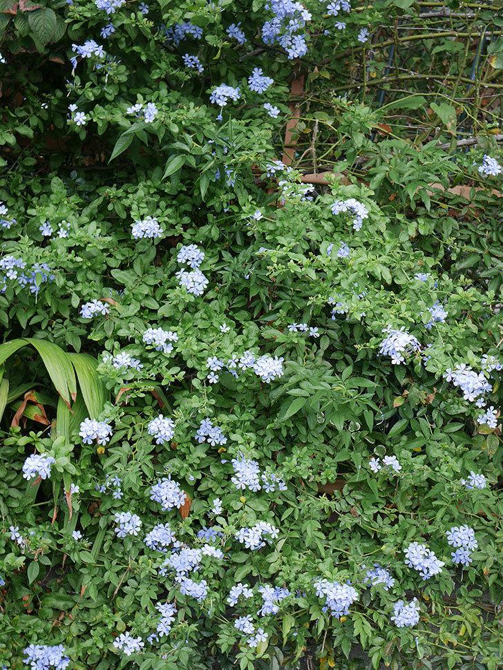 ルリマツリの花がまたたくさん咲いた。2020年-012.jpg