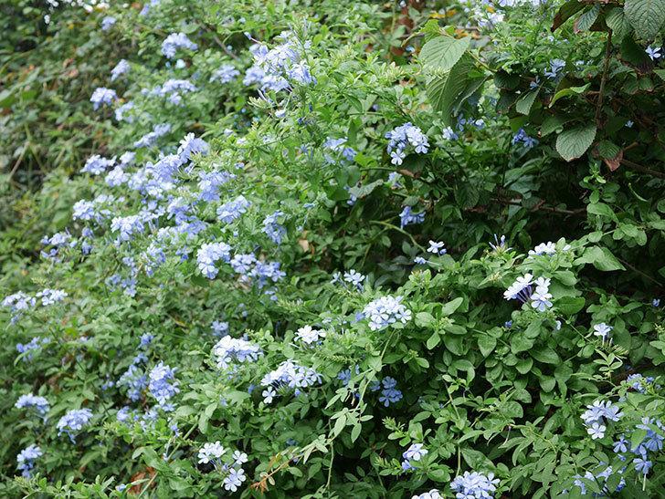 ルリマツリの花がまたたくさん咲いた。2020年-022.jpg