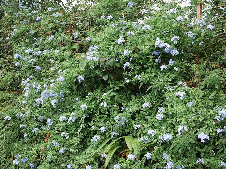 ルリマツリの花がまたたくさん咲いた。2020年-026.jpg