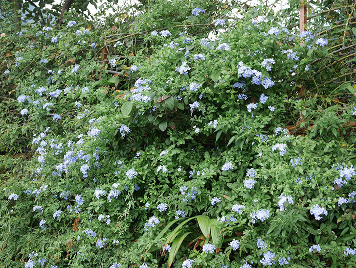 ルリマツリの花がまたたくさん咲いた。2020年-027.jpg
