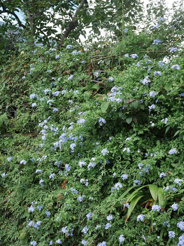 ルリマツリの花がまたたくさん咲いた。2020年-028.jpg