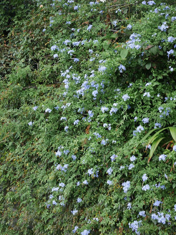 ルリマツリの花がまたたくさん咲いた。2020年-029.jpg