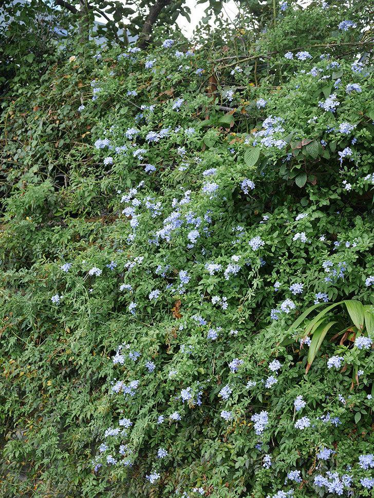 ルリマツリの花がまたたくさん咲いた。2020年-030.jpg
