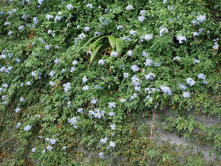 ルリマツリの花がまたたくさん咲いた。2020年-033.jpg