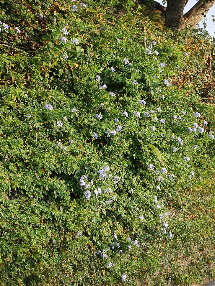 ルリマツリの花がまた増えてきた。2020年-002.jpg