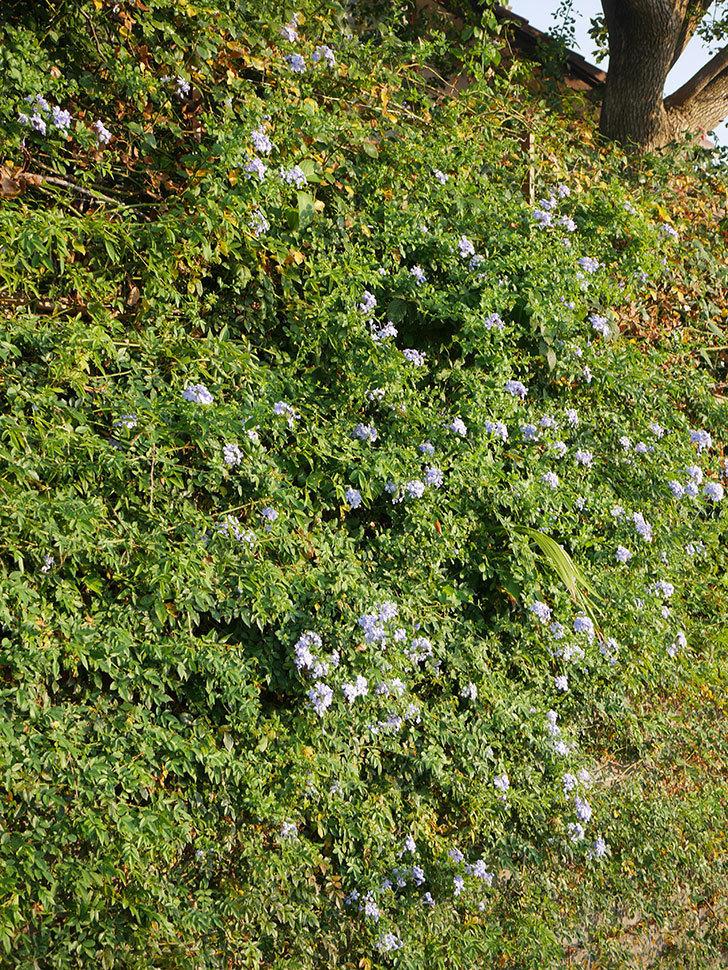 ルリマツリの花がまた増えてきた。2020年-003.jpg