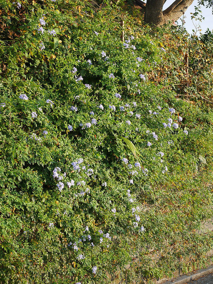 ルリマツリの花がまた増えてきた。2020年-004.jpg