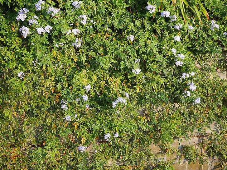 ルリマツリの花がまた増えてきた。2020年-005.jpg