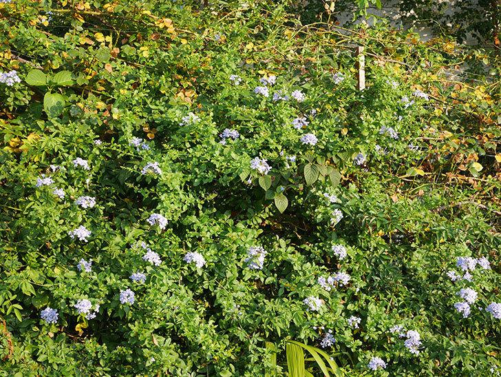 ルリマツリの花がまた増えてきた。2020年-007.jpg