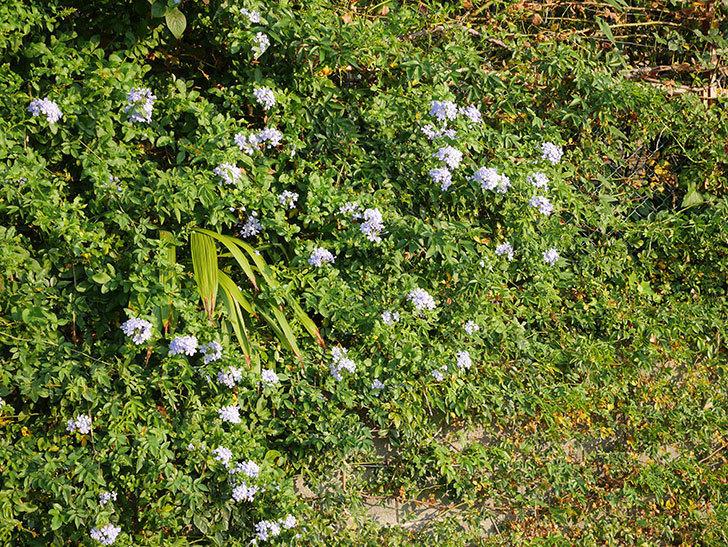 ルリマツリの花がまた増えてきた。2020年-008.jpg