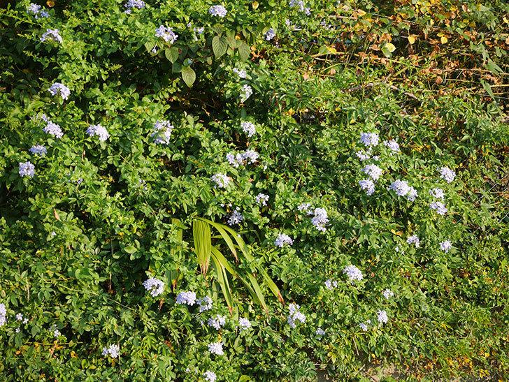 ルリマツリの花がまた増えてきた。2020年-009.jpg