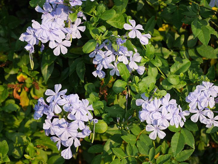 ルリマツリの花がまた増えてきた。2020年-010.jpg