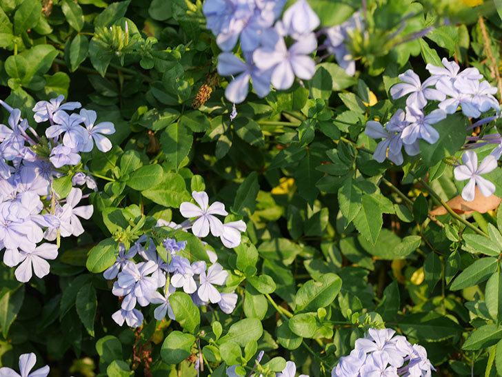 ルリマツリの花がまた増えてきた。2020年-011.jpg