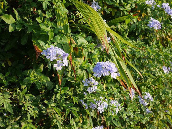 ルリマツリの花がまた増えてきた。2020年-013.jpg