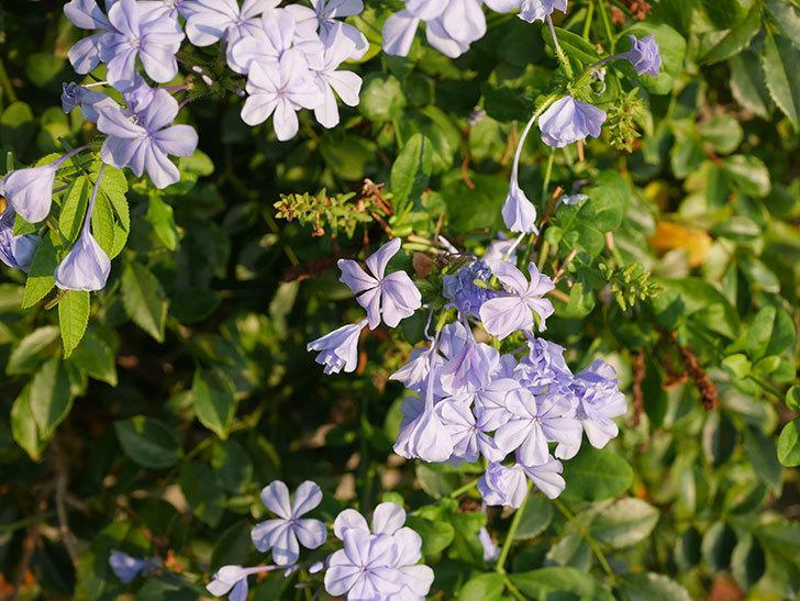 ルリマツリの花がまた増えてきた。2020年-014.jpg