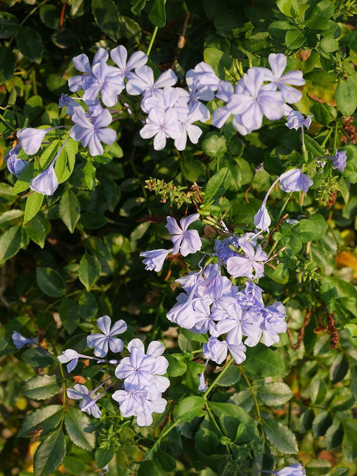 ルリマツリの花がまた増えてきた。2020年-015.jpg
