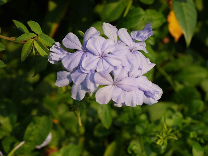 ルリマツリの花がまた増えてきた。2020年-016.jpg