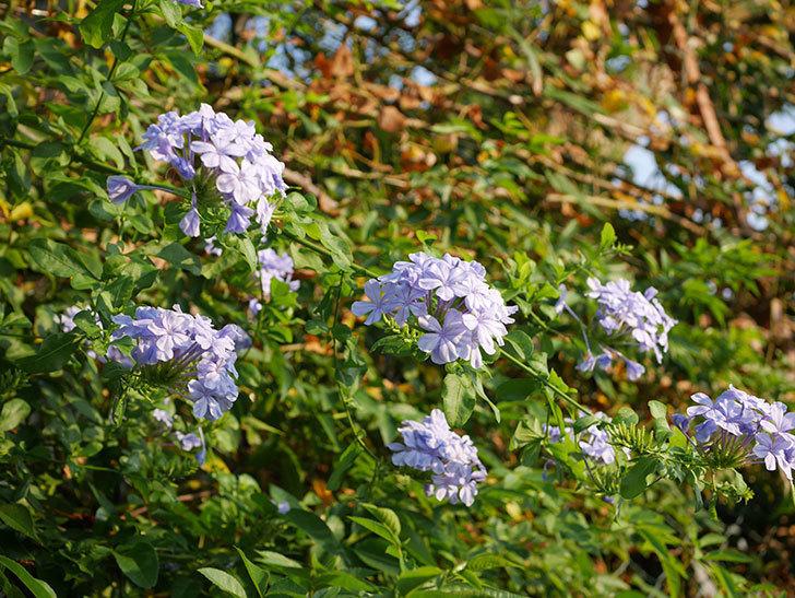 ルリマツリの花がまた増えてきた。2020年-017.jpg