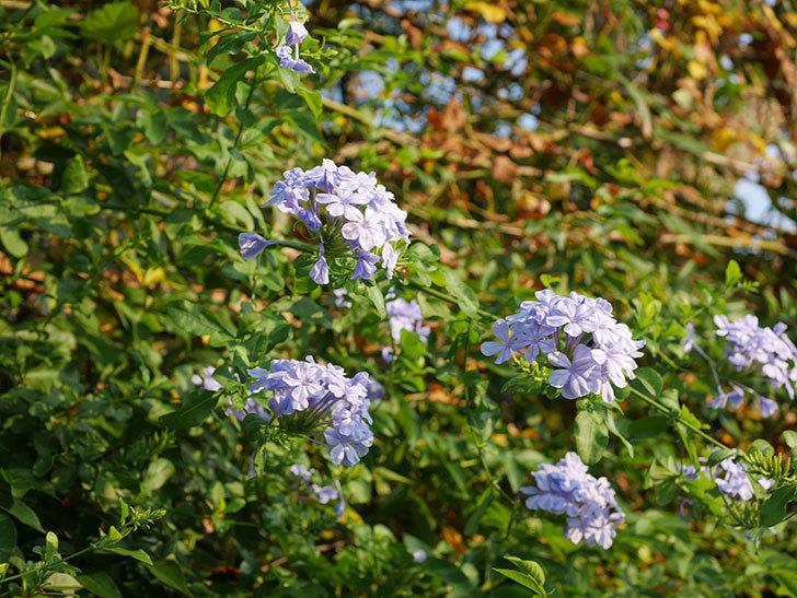 ルリマツリの花がまた増えてきた。2020年-018.jpg