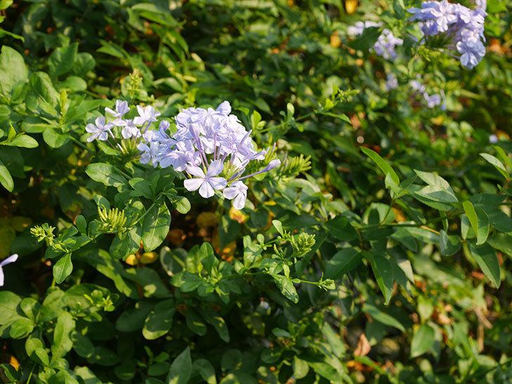 ルリマツリの花がまた増えてきた。2020年-020.jpg