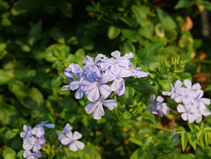 ルリマツリの花がまた増えてきた。2020年-021.jpg