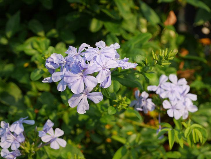 ルリマツリの花がまた増えてきた。2020年-022.jpg