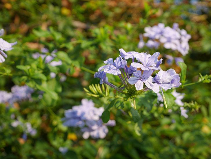 ルリマツリの花がまた増えてきた。2020年-024.jpg