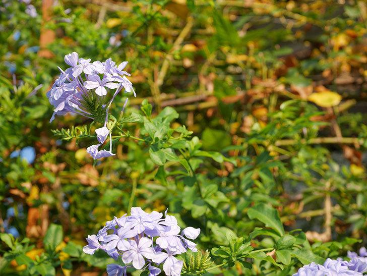 ルリマツリの花がまた増えてきた。2020年-025.jpg