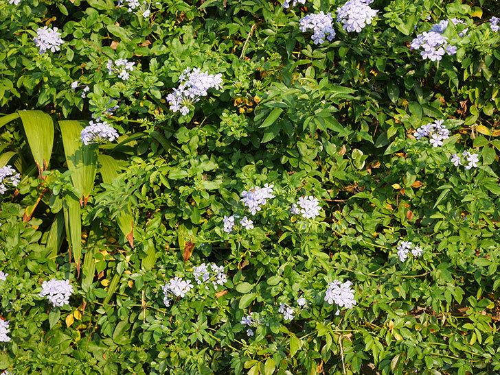 ルリマツリの花がまた増えてきた。2020年-026.jpg