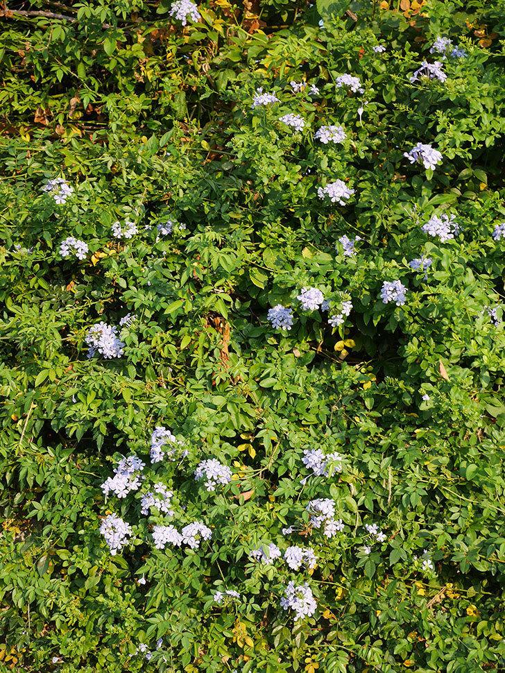 ルリマツリの花がまた増えてきた。2020年-028.jpg