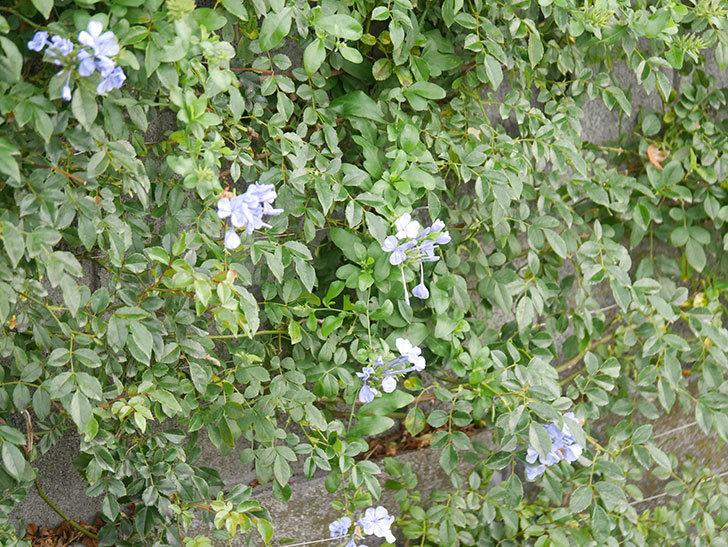 ルリマツリの花が咲いた。2020年-001.jpg