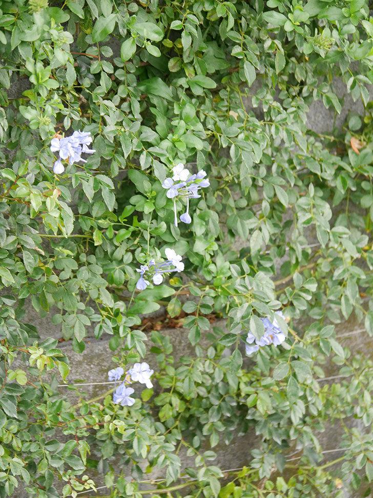 ルリマツリの花が咲いた。2020年-007.jpg