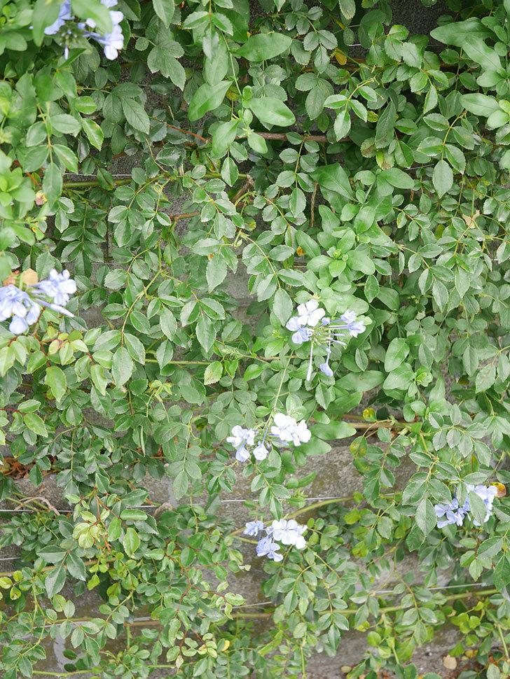 ルリマツリの花が咲いた。2020年-011.jpg