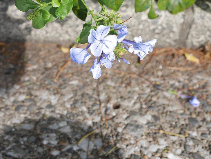 ルリマツリの花が咲きだした。2021年-004.jpg