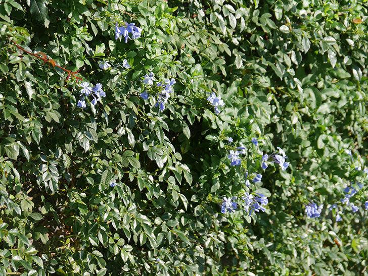 ルリマツリの花が増えてきた。2020年-001.jpg