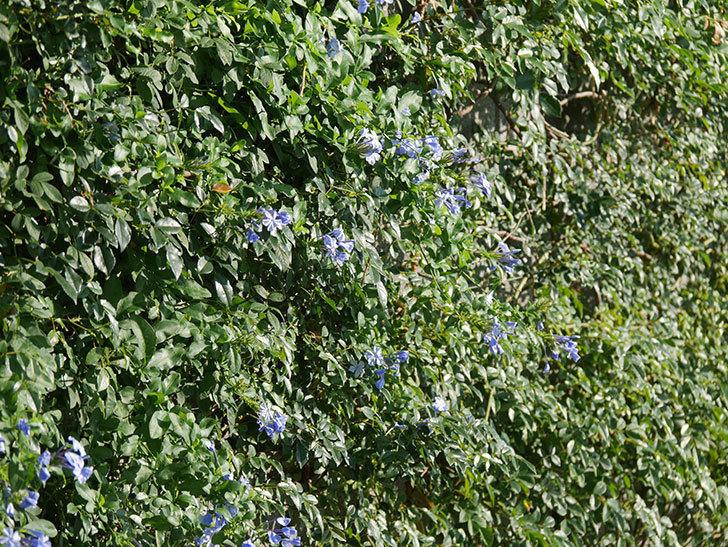 ルリマツリの花が増えてきた。2020年-002.jpg